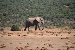 Piękny popielaty duży słoń w Addo słonia parku w Colchester, Południowa Afryka Zdjęcia Royalty Free