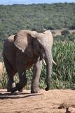 Piękny popielaty duży słoń w Addo słonia parku w Colchester, Południowa Afryka Zdjęcia Stock