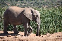 Piękny popielaty duży słoń w Addo słonia parku w Colchester, Południowa Afryka Obraz Stock