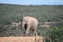 Piękny popielaty duży słoń w Addo słonia parku w Colchester, Południowa Afryka Fotografia Royalty Free