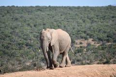 Piękny popielaty duży słoń w Addo słonia parku w Colchester, Południowa Afryka Fotografia Stock