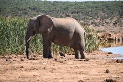 Piękny popielaty duży słoń w Addo słonia parku w Colchester, Południowa Afryka Obrazy Stock