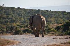 Piękny popielaty duży słoń w Addo słonia parku w Colchester, Południowa Afryka Obrazy Royalty Free