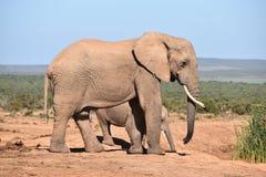 Piękny popielaty duży słoń z jej dzieckiem w Addo słonia parku w Colchester, Południowa Afryka Obraz Royalty Free