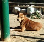 Piękny portraite Mój górkowaty zwierzę domowe Jacky Fotografia Stock