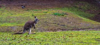 Piękny portret czerwona necked wallaby pozycja w trawie, kangur od Australia obrazy stock
