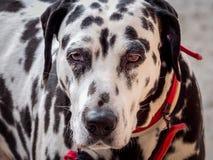 Piękny portret Dalmatyński pies z przegranym spojrzeniem zdjęcie stock