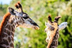 Piękny portret dwa żyrafy na savana tle Zdjęcie Stock