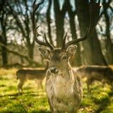 Piękny portret jeleni wędrować swobodnie w parku Zdjęcia Royalty Free