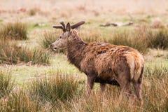Piękny portret jeleni wędrować swobodnie w parku Zdjęcie Stock