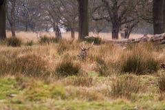 Piękny portret jeleni wędrować swobodnie w parku Fotografia Stock