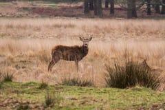 Piękny portret jeleni wędrować swobodnie w parku Obraz Royalty Free