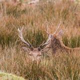 Piękny portret jeleni wędrować swobodnie w parku Obrazy Stock