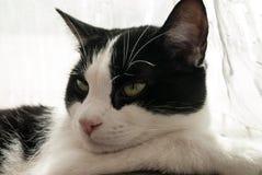 Piękny portret młody gnuśny czarno biały tomcat zdjęcia stock