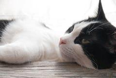 Piękny portret młody kot Obraz Royalty Free