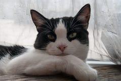 Piękny portret młody kot Obrazy Royalty Free