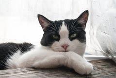 Piękny portret młody kot Fotografia Royalty Free
