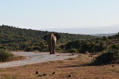 Piękny portret popielaty duży słoń w Addo słonia parku w Colchester, Południowa Afryka Obraz Royalty Free