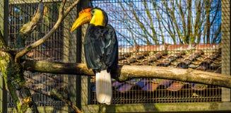 Piękny portret samiec marszczący dzioborożec obsiadanie na gałąź, kolorowy tropikalny ptak od Azja, Zagrażający zwierzęcy specie fotografia royalty free