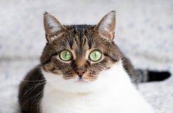 Piękny portret tabby kota lying on the beach na łóżku i gapić się w kamerę Śmieszny barwiony kot z pasiastą głową, plecy i w Fotografia Stock