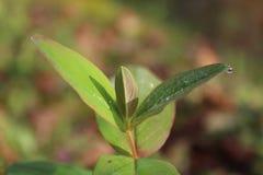 Piękny portreta wizerunek roślina liście z wodnymi perłami Obrazy Stock
