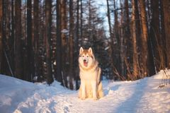 Piękny, potomstwo i bezpłatny Syberyjski husky, jest prześladowanym obsiadanie na śniegu w tajemniczym zima lesie przy zmierzchem zdjęcia royalty free