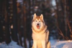 Piękny, potomstwo i bezpłatny Syberyjski husky, jest prześladowanym obsiadanie na śniegu w tajemniczym zima lesie przy zmierzchem fotografia royalty free