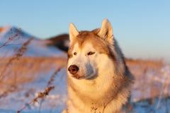 Piękny, poważny i bezpłatny siberian husky psa obsiadanie na wzgórzu w więdnącej trawie przy zmierzchem, obraz stock