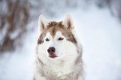 Piękny, poważny i bezpłatny Syberyjskiego husky psa obsiadanie na śniegu w czarodziejskim lesie w zimie, zdjęcie stock