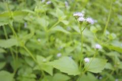 Piękny przerzedże kwiat trawy Zdjęcie Royalty Free