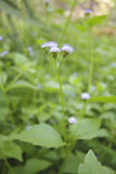 Piękny przerzedże kwiat trawy Zdjęcia Royalty Free