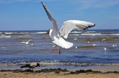 Piękny przewodzący seagull latanie zdjęcie stock