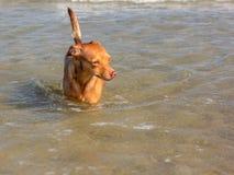Piękny przybłąkanego psa †‹â€ ‹który szuka sposób dosięgać swój właścicieli w wodzie na bezpłatnej plaży fotografia stock