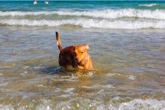 Piękny przybłąkanego psa â⠂¬â€ ¹ â⠂¬â€ ¹ który szuka sposób dosięgać swój właścicieli w wodzie na bezpłatnej plaży zdjęcia royalty free
