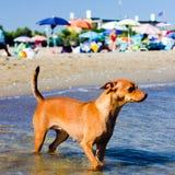 Piękny przybłąkany pies który szuka sposób dosięgać swój właścicieli w wodzie na bezpłatnej plaży obrazy royalty free