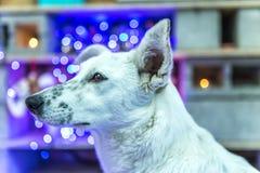 piękny psi biel dzieci święta Claus kapelusza zdjęcie matki grać to mikołaj nosi boże narodzenie nowy rok szczęśliwy wesoło Zdjęcie Royalty Free
