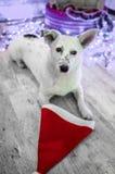 piękny psi biel dzieci święta Claus kapelusza zdjęcie matki grać to mikołaj nosi boże narodzenie nowy rok szczęśliwy wesoło Zdjęcie Stock