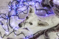 piękny psi biel dzieci święta Claus kapelusza zdjęcie matki grać to mikołaj nosi boże narodzenie nowy rok szczęśliwy wesoło Obraz Royalty Free