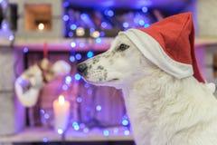 piękny psi biel dzieci święta Claus kapelusza zdjęcie matki grać to mikołaj nosi boże narodzenie nowy rok szczęśliwy wesoło Obrazy Stock