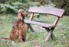 Piękny psi czekanie obrazy royalty free