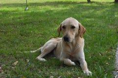 Pi?kny psi odpoczywa? na trawie obraz stock