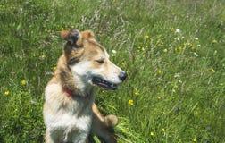 Piękny psi odpoczywać w zielonej trawie na gorącym letnim dniu Fotografia Royalty Free