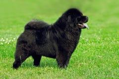 Piękny psi trakenu Chow Chow rzadki czarny kolor jest pokazywać po Obraz Royalty Free