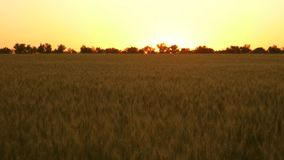 Piękny pszeniczny pole w lecie przy zmierzchem Zbo?owy ?niwo dojrzewa w lecie Poj?cie rolniczy biznes organicznie zbiory wideo