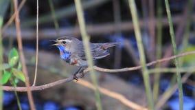 Piękny ptak śpiewający śpiewa obsiadanie w krzakach zbiory wideo