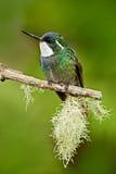 piękny ptak Błękitny i biały mały ptak od góry chmury lasu w Costa Rica Throated klejnot, Lampornis castane Obrazy Royalty Free