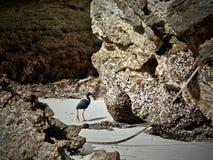 Piękny ptak na karon plaży Tajlandia Podróż Zdjęcie Stock