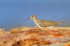 Piękny ptak od Costa Rica Przyrody scena od morza Ptak na drzewnym bagażniku Sandpiper, Actitis macularia, woda morska ptak w n Zdjęcia Stock