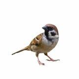 Piękny ptak odizolowywający Fotografia Stock