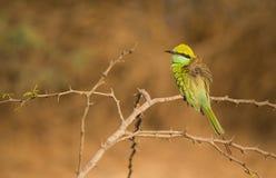 Piękny ptak zieleni pszczoły zjadacza obsiadanie na drzewnej żerdzi zdjęcia royalty free
